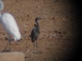 Reddish Egret-Chandler, AZ