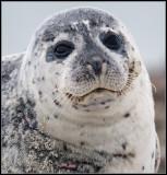 Harbour Seal / Gewone Zeehond /Phoca vitulina