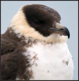 Pomarine Skua / Middelste Jager / Stercorarius pomarinus
