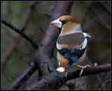 Hawfinch / Appelvink / Coccothraustes coccothraustes