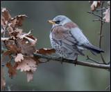 Fieldfare / Kramsvogel / Turdus pilaris