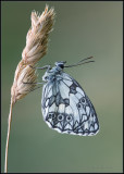 Marbled White / Dambordje / Melanargia galathea