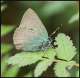 Green Hairstreak / Groentje / Callophrys rubi