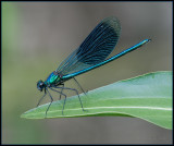Banded Demoiselle / Weidebeekjuffer / Calopteryx splendens