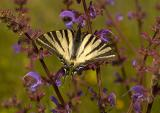Tiger Swallowtail / Koningspage