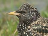 Starling / Spreeuw / Sturnus vulgaris