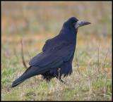 Rook / Roek / Corvus frugilegus
