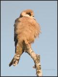 Red-footed Falcon / Roodpootvalk / Falco vespertinus