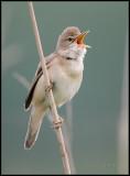 Marsh Warbler / Bosrietzanger