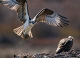 Osprey Nest 1.jpg