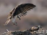 Osprey Nest 8.jpg
