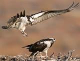 Osprey Nest 7.jpg