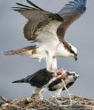 Osprey Nest 4.jpg