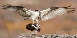 Osprey Nest 6.jpg