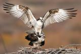 Osprey Nest 2.jpg
