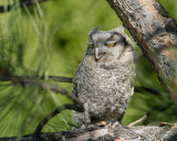 Screech-Owl fledgling