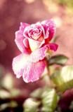A antique rose copy.jpg