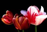 A tulip 5 copy.jpg