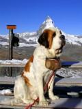 Our Big Friend Berhardiner, Swiss Alps