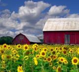 Sunflower Field, Sauerlach, Bavaria