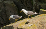 6844 Lesser Black Backed Gulls IoM 250710.jpg