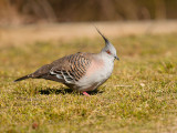 Crested Pigeon.jpg
