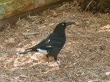Pied Currawong.jpg