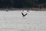 Bass Lake Osprey looking for breakfast