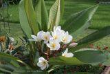 Plumeria (Plumeria rubra) - unknown variety