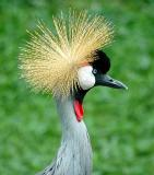Africal Crowned Crane, Singapore Zoo