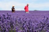 Lavenders Blue Dilly Dilly