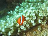 Anemonefish watching from safety