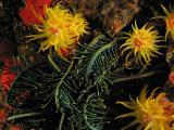 Tubastraea & featherstar