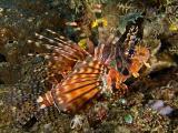Zebra lionfish (aka Butterfly scorpionfish)