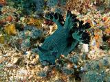 Nudibranch - Miller's nembrotha