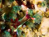 Nudibranch - Nembrotha sp