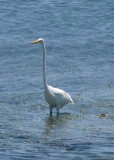 A beautiful white egret showing off its long neck.