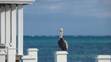 This pelican found a nice perch on the end of the dock.