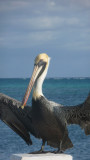 I got this photo just before the pelican took off.