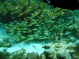 Schools of fish swimming through the coral