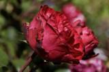 Allenmore Hospital Rose Garden