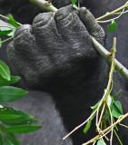 Gorilla Fist