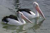 Australian Pelican (NZ vagrant)