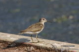 Common Sandpiper 0371.jpg