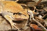 Fletcher's Frog - Lechriodus fletcheri