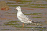Black-headed Gull a6612.jpg