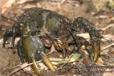 Glenelg Spiny Crayfish - Euastacus bispinosus