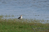 Spotted Redshank a7360.jpg