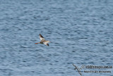 Spotted Redshank a7370.jpg