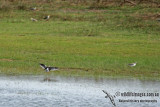 Spotted Redshank a7373.jpg